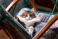Vit och brun randig katt på en gungstol royaltyfri foto