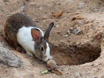 Vit och brunt oavbrutet tjata framme av hålet i en zoo Arkivfoto