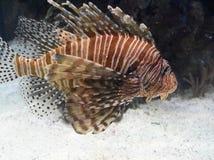 Vit och brunt randiga Zebrafish på en Sandy Ocean Bottom Royaltyfria Foton