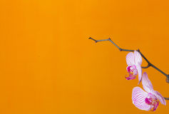 Vit och den rosa färger gjorde strimmig orkidén blommar på en orange bakgrund royaltyfria foton