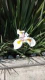 Vit och ensam närliggande blommablomning fotografering för bildbyråer