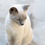 Vit och grå katt Royaltyfri Bild