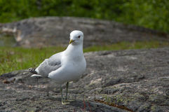 Vit och grå seagull på en granitsten Arkivfoto