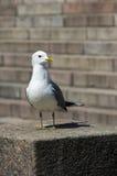 vit och grå seagull på stenmomenten Arkivbild