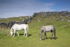 Vit och Grey Horse i fält på Inishmore, Aran Islands Royaltyfri Bild