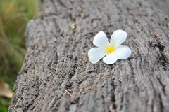 Vit och gul Plumeriablomma på träjournalen royaltyfria foton