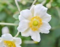 Vit och guling blommar i en parkera, makro Arkivfoton