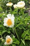 Vit och guling blommar i en trädgård royaltyfria foton