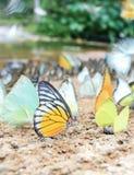 Vit- och gulingfjärilar på jordningen Arkivbild