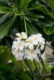 Vit- och gulingfrangipanien blommar med sidor i bakgrund Arkivbild