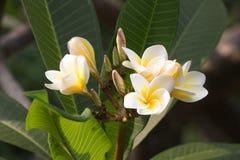 Vit- och gulingfrangipanien blommar med sidor i bakgrund arkivfoton