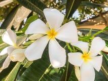 Vit- och gulingfrangipanien blommar med sidor i skuggan Arkivfoto