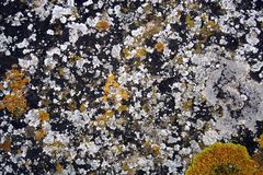 vit- och gulinglaver på stenen arkivfoton