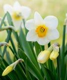 Vit- och gulingpåskliljan blommar i trädgården Arkivbild