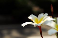 Vit- och gulingplumeria eller frangipaniblommor royaltyfri bild
