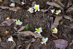 Vit- och gulingplumeriablommor som är stupade på jordningen med torrt Royaltyfria Bilder