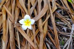 Vit- och gulingplumeriablommor som är stupade på jordningen med torrt fotografering för bildbyråer