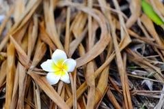 Vit- och gulingplumeriablommor som är stupade på jordningen med torrt Arkivfoton