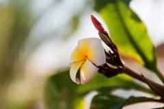 Vit- och gulingplumeriafrangipanien blommar med sidor Royaltyfri Foto