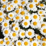 Vit- och gulingtusenskönor Arkivbild