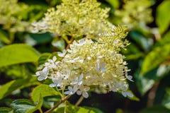 Vit och krämig panicled vanlig hortensia för knoppning och för blomning från c Royaltyfria Foton
