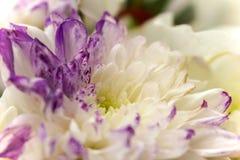 Vit- och lilablommaslut upp Royaltyfri Foto