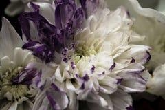 Vit- och lilablommor stänger sig upp Royaltyfri Fotografi