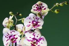 Vit och purpurfärgad blommande orkidé Arkivfoton