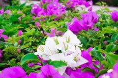 Vit och purpurfärgad bougainvillea i trädgården Royaltyfria Foton
