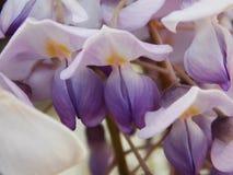 Vit och purpurfärgad bukett av orkidén på våren Arkivfoto