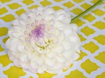 Vit och purpurfärgad dahlia Arkivbild