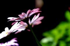 Vit och purpurfärgad härlig blomma Royaltyfria Bilder