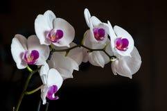 Vit och purpurfärgad orkidé på svart bakgrund Royaltyfri Foto
