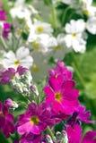 Vit och purpurfärgad primula Arkivfoton