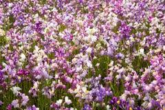 Vit och purpurfärgade små blommor Arkivbilder