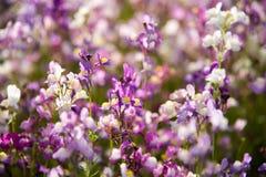 Vit och purpurfärgade små blommor Royaltyfri Fotografi