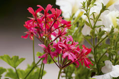 Vit och röd färg blommar Macedonian ansjovisar royaltyfri foto