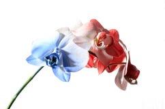 Vit och röd orkidé för blått, Royaltyfri Bild