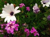 Vit och rosa cypriotisk blomma Royaltyfri Foto