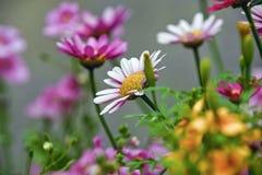 Vit och rosa dekorativa blommor Arkivbilder