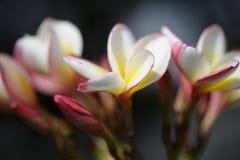 Vit och rosa färger för Plumeria gul i trädgården Royaltyfri Fotografi