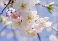 Vit och rosa färger fjädrar blomningar som fint hänger från en trädbr fotografering för bildbyråer