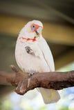 Vit- och rosa färgpapegoja Royaltyfri Foto
