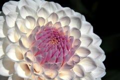 Vit och rosa frank dalhia Arkivfoton