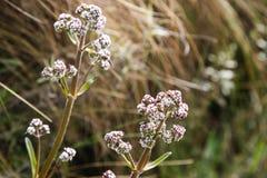 Vit och rosa lösa blommor av Anderna på Inca Trail fotografering för bildbyråer