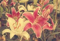 Vit och rosa liljablomma Fotografering för Bildbyråer