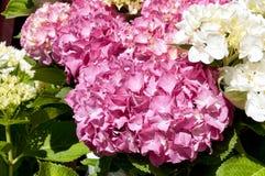 Vit och rosa vanlig hortensia Royaltyfria Bilder