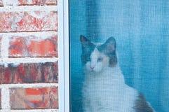 Vit och svart katt som ut ser fönsterskärmen Royaltyfri Bild
