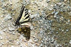 Vit- och svartfjäril Royaltyfri Fotografi