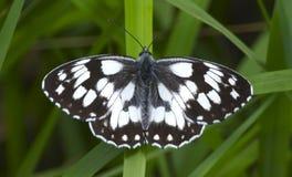 Vit- och svartfjäril på grässtrået royaltyfri foto